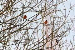 Оранжевые bullfinches на ветвях Стоковое Фото