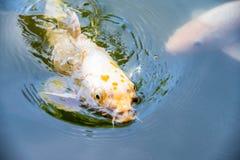 Оранжевые fishs Koi (nishikigoi) плавая в пруде с едой питания Стоковое Изображение RF
