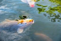 Оранжевые fishs Koi (nishikigoi) плавая в пруде с едой питания Стоковая Фотография