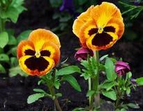 Оранжевые pansies цветка Стоковые Изображения