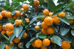 Оранжевые tangerines на дереве Стоковые Изображения RF