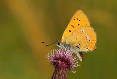 Оранжевые virgaureae голубянок бабочки Стоковое Изображение
