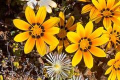 Оранжевые wildflowers весны Gazania Стоковое Изображение RF