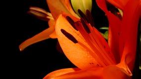 Оранжевый азиатский цветок Timelapse лилии сток-видео