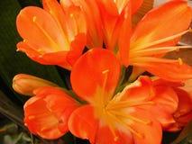 Оранжевый амарулис miniata Clivia для карточки или знамени стоковое фото rf