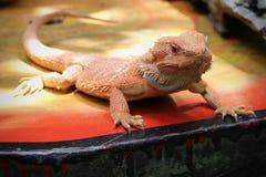 Оранжевый бородатый дракон на оранжевой таблице Стоковые Фото