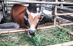 Оранжевый буйвол ел травы в своей конюшне Стоковые Изображения
