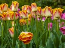 Оранжевый влажный тюльпан стоковое фото