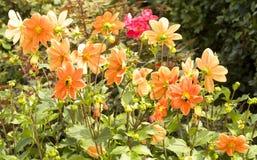 Оранжевый георгин на flowerbed Стоковое Изображение RF