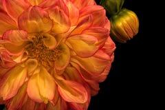 Оранжевый георгин с бутоном на черноте Стоковые Изображения RF