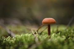 Оранжевый гриб с волосатой ногой растет на мягкой подушке зеленого мха стоковое фото