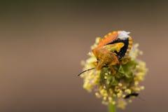 Оранжевый жук на цветке Стоковое Фото