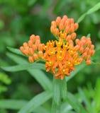 Оранжевый засоритель бабочки стоковая фотография