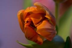 Оранжевый зеленый тюльпан Стоковые Изображения RF