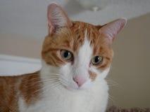 Оранжевый и белый конец кота вверх стоковая фотография rf