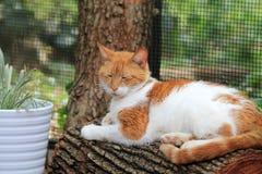 Оранжевый и белый кот отдыхая на журнале стоковое фото