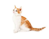 Оранжевый и белый котенок смотря к стороне Стоковые Изображения RF