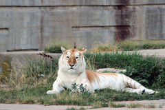 Оранжевый и белый тигр Бенгалии Стоковые Изображения RF