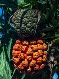 Оранжевый и зеленый плод пандана на дереве стоковое изображение rf