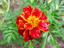 Оранжевый и коричневый ноготк в саде Стоковые Изображения RF