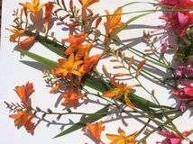 Оранжевый и розовый полевой цветок сада страны Стоковое фото RF