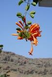 Оранжевый каприфолий Стоковая Фотография