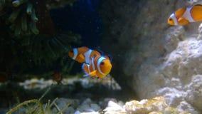 Оранжевый клоун удит заплывание видеоматериал