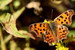 Оранжевый конец бабочки вверх Стоковые Фотографии RF