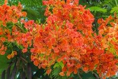 Оранжевый королевский цветок Poinciana, дерево пламени Стоковые Изображения RF