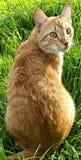Оранжевый кот в Солнце Стоковые Изображения RF