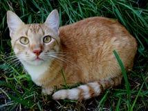 Оранжевый кот в траве Стоковая Фотография RF