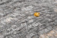 Оранжевый кот на крыше Стоковое Фото