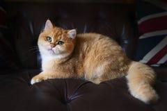 Оранжевый кот на софе Стоковое Фото