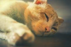 Оранжевый кот спит в свете утра Стоковая Фотография