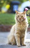 Оранжевый кот Стоковые Изображения RF