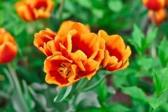 Оранжевый крупный план тюльпана, оранжевый цветок стоковые изображения