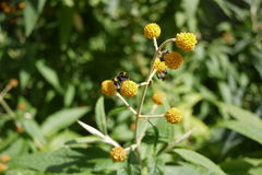 Оранжевый кустарник цветка Buddleja pom pom стоковые фотографии rf