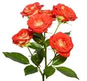 Оранжевый куст роз Стоковая Фотография
