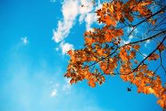 Оранжевый клен Стоковое Изображение RF