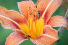 Оранжевый макрос ландшафта цветка лилии с осами стоковая фотография