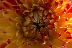 Оранжевый макрос лепестков георгина, флористическая абстрактная предпосылка Отмелая предпосылка весны DOF Стоковое фото RF