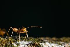 Оранжевый муравей Стоковые Изображения