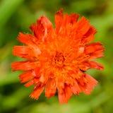 Оранжевый ноготк Стоковое Изображение