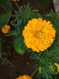 Оранжевый ноготк Стоковые Фото