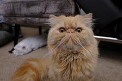 Оранжевый персидский котенок в вытаращиться на камере стоковое изображение rf