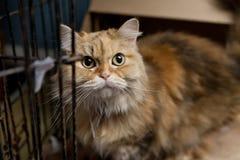 Оранжевый персидский кот в клетке смотря вверх к камере Стоковое фото RF