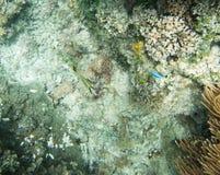 Оранжевый позвоночник Unicornfish и Damselfish Стоковые Изображения