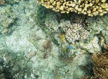 Оранжевый позвоночник Unicornfish Стоковое Изображение RF