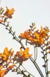 Оранжевый полевой цветок сада страны Стоковое Изображение RF