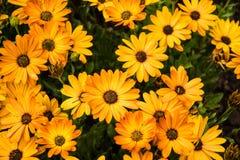 Оранжевый пук маргариток Стоковое Фото